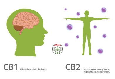 Układ endokannabinoidowy a kannabidiol CBD